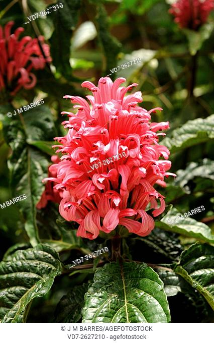 Brazilian plume flower or flamingo flower (Jacobinia magnifica or Justicia carnea) is a perennial herb native to eastern Brazil. Angosperms