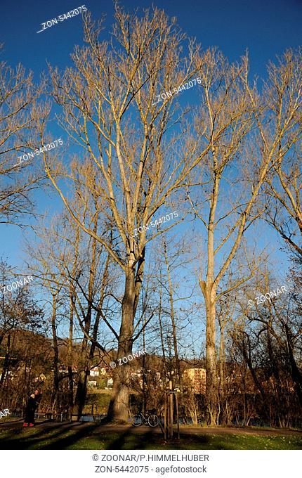 große alte Bäume im Winter