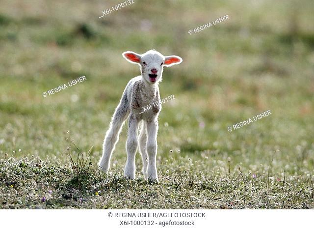 Merino Lamb Ovis ammon aries, on meadow bleating, Portugal