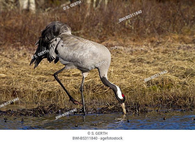 Common crane, Eurasian Crane (Grus grus), female feeding at a lake, Sweden, Hamra National Park