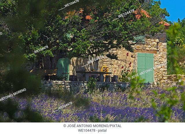 Lavender field at Sault, Vaucluse, Provence-Alpes-Côte d'Azur, France
