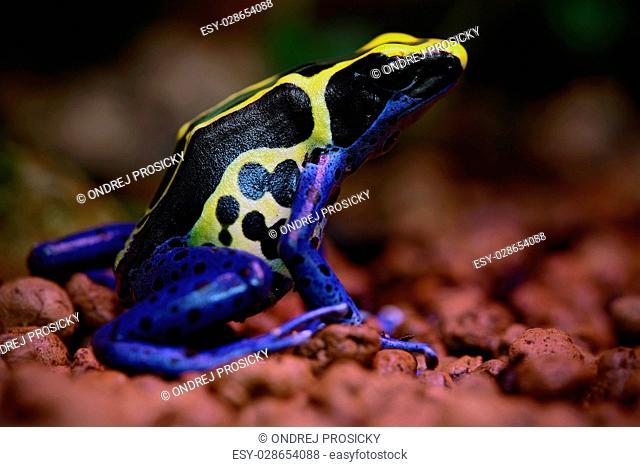 Blue and yellow amazon Dyeing Poison Frog, Dendrobates tinctorius