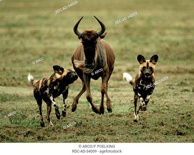 African Hunting Dogs chasing Blue Wildebeest Serengeti national park Tanzania Lycaon pictus Connochaetes taurinus albojubatus