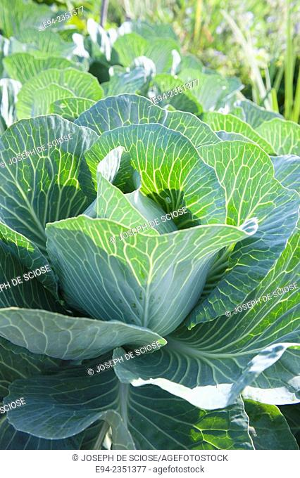 A large cabbage plant in a garden