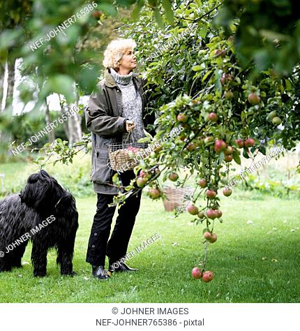 A woman picking apples, Sweden