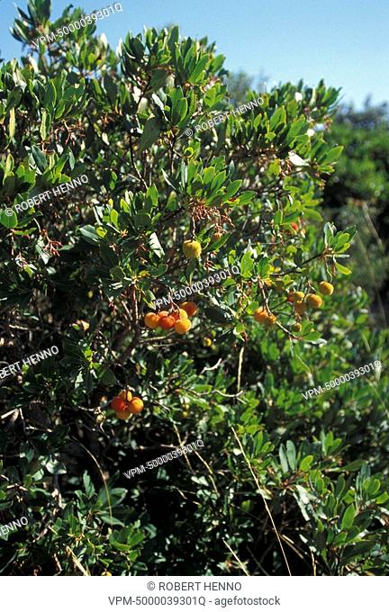 ARBUTUS UNEDOSTRAWBERRY TREEFRANCE - MEDITERRANEAN AREA TREE WITH FRUIT