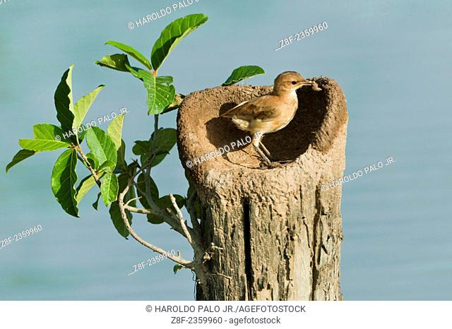 Rufous Hornero(Furnarius rufus) building nest with clay. Pantanal (Swampland). Mato Grosso, Brazil (sequency 2)