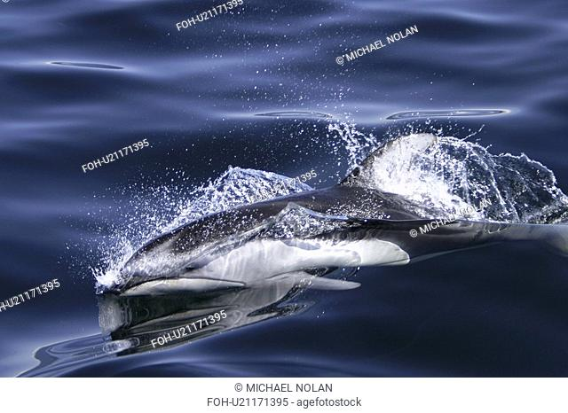 Adult Pacific white-sided dolphin Lagenorhynchus obliquidens surfacing in the calm waters of the inside passage. Southeast Alaska, USA