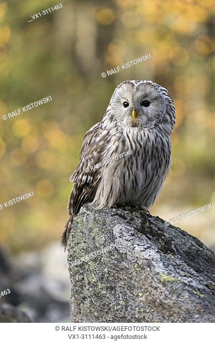 Ural Owl / Habichtskauz ( Strix uralensis ) perched on a rock, early morning, first sunlight shines on autumnal coloured woods in the background