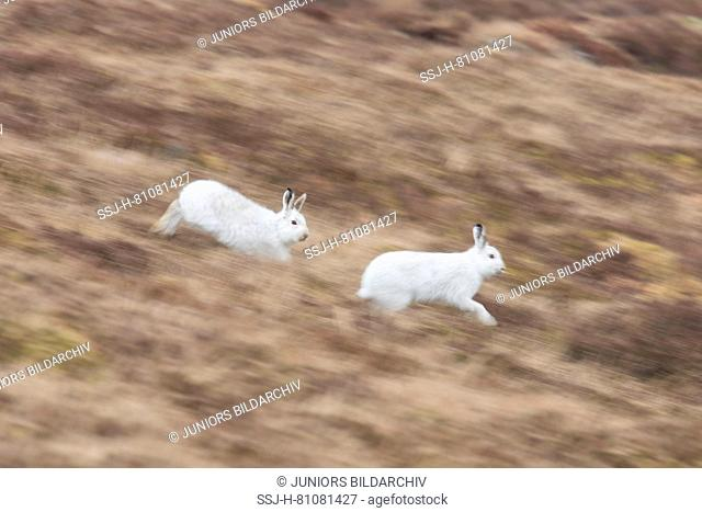 Mountain Hare (Lepus timidus). Two adults in white winter coat (pelage) running. Cairngorms National Park, Scotland
