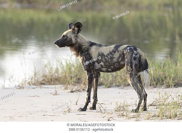 Africa, Southern Africa, Bostwana, Moremi National Park, African wild dog or African hunting dog or African painted dog (Lycaon pictus),