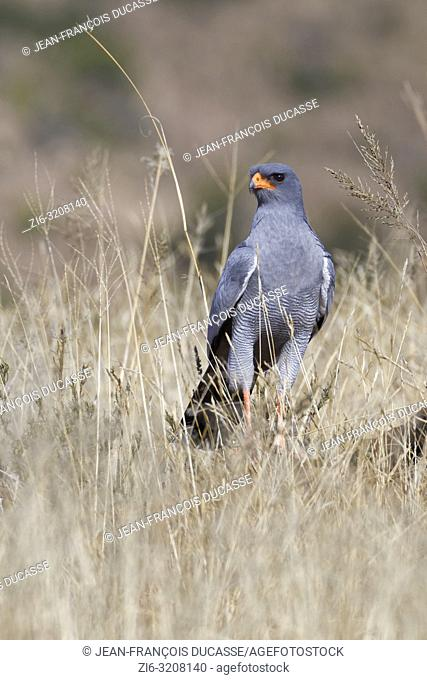 Pale chanting goshawk (Melierax canorus), adult, on a stone, looking for prey, Mountain Zebra National Park, Eastern Cape, South Africa, Africa