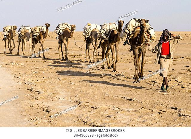 Caravan, camels carrying salt from the salt mines of Dallol, Danakil Depression, Afar Triangle, Ethiopia