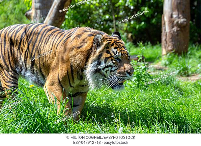 A prowling Sumatran Tiger. The Sumatran tiger is one of the smallest tigers, about the size of a leopard, and is critically endangered