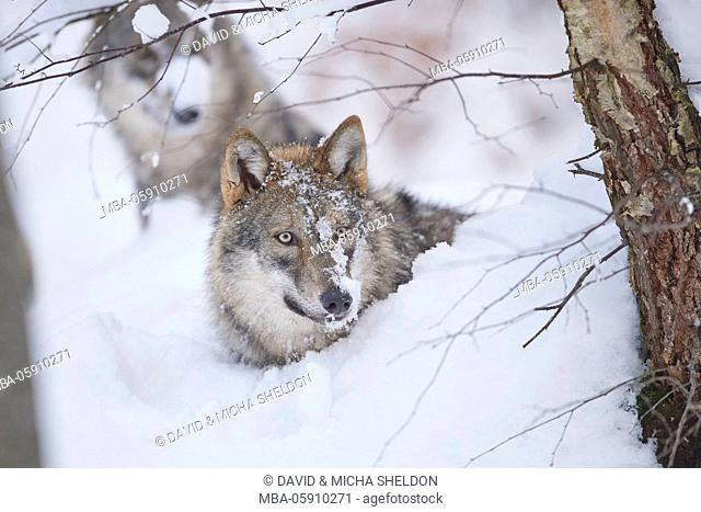 Wolves, Canis lupus, winter, wood, side view, lie, looking into camera