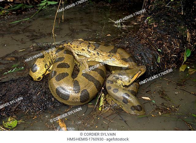 Brazil, Amazonas State, Manaus, Amazon river basin, Anaconda, green anaconda, common anaconda (Eunectes murinus) with a Spectacled caiman (Caiman crocodilus)