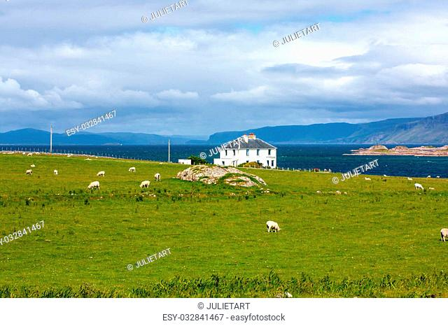 Sheep in Iona island, Scotland