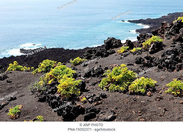 Canary Samphire, Lettuce of the Sea Astydamia latifolia - La Palma, Canary Islands, Spain, Europe