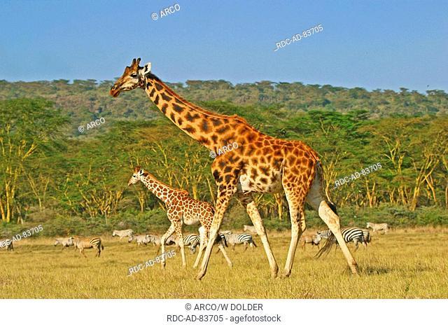 Rothschild's Giraffes female with young Lake Nakuru national park Kenya Giraffa camelopardalis rothschildi side