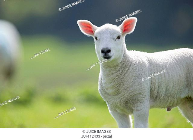 Portrait of lamb in green spring grass