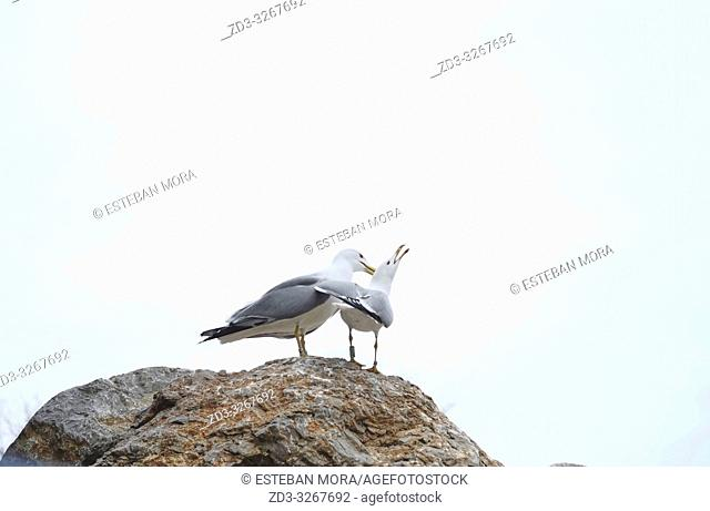 Two seagulls on a rock