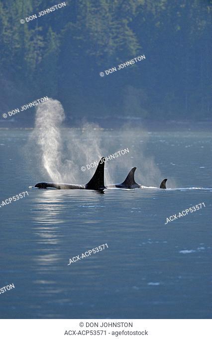 Killer whale Orcinus orca Resident pod in summer feeding territory, Johnstone Strait, Vancouver Island, British Columbia, Canada