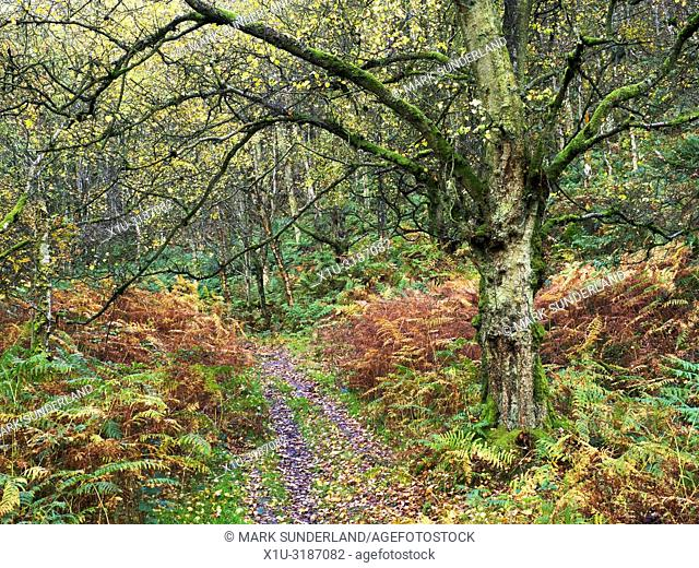 Autumn birch tree and bracken by a footpath through Guisecliff Wood Pateley Bridge North Yorkshire England