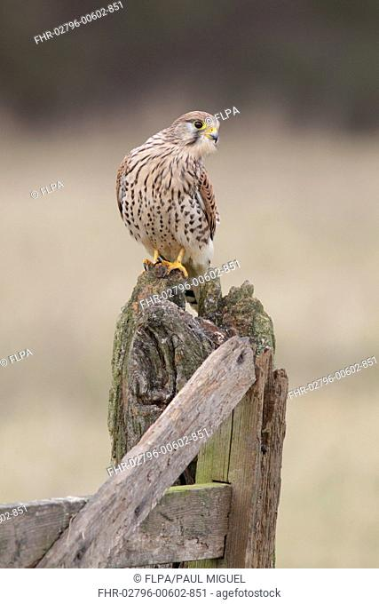 Common Kestrel (Falco tinnunculus) adult female, perched on old gatepost in farmland, North Yorkshire, England, December