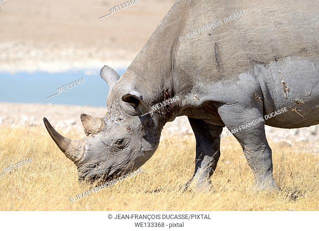 Black Rhinoceros (Diceros bicornis), adult male grazing at waterhole, Etosha National Park, Namibia, Africa