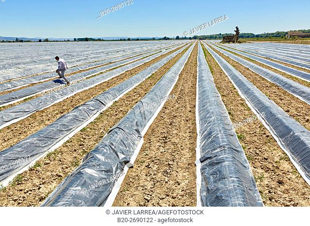 Growing asparagus, Agricultural field, Cadreita, Navarra, Spain, Europe