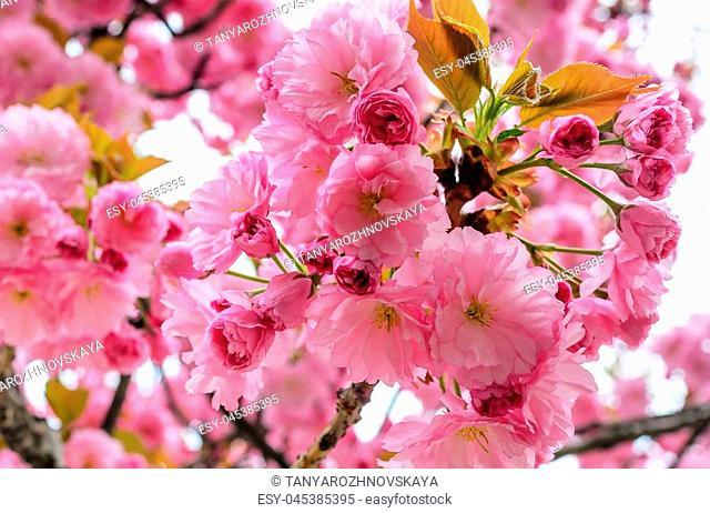 Sakura flowers on a tree. Spring is in full bloom