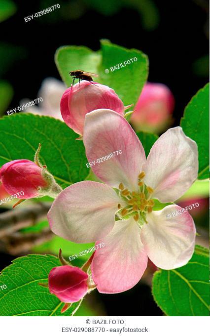 white a flower on apple-trees
