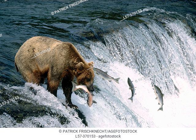 Brown bear (Ursus arctos). Katmai National Park. Alaska. USA