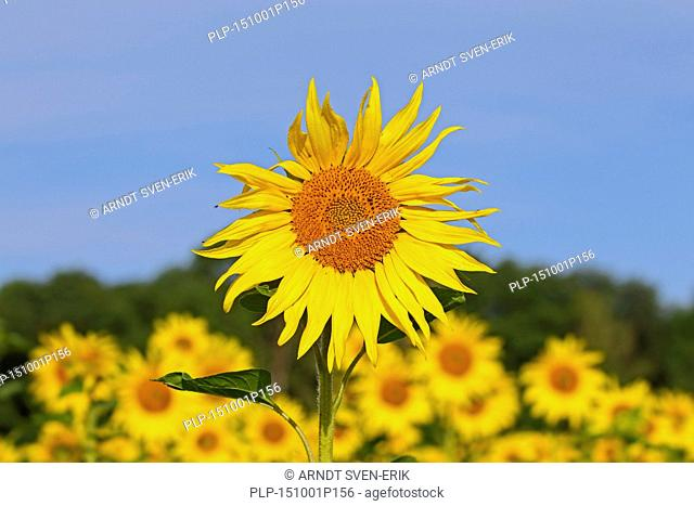 Common sunflowers (Helianthus annuus) flowering in field