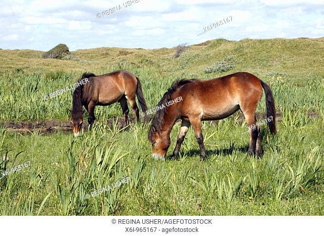 Exmoor Pony, De Bollekamer sand dune national park, Texel, Holland