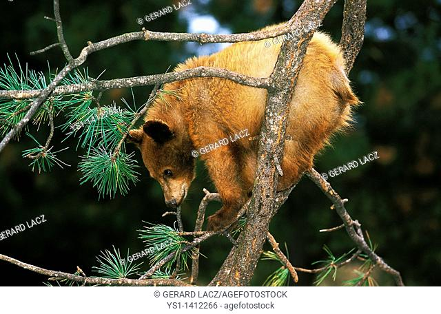 YOUNG GRIZZLY BEAR ursus arctos horribilis PLAYING IN A TREE, ALASKA