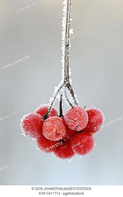 Highbush cranberry Viburnum trilobum berries with frost