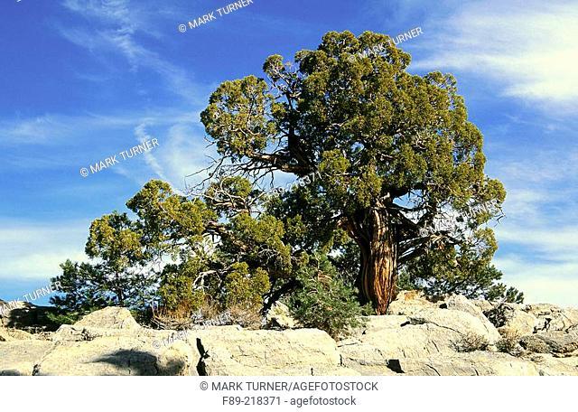 Utah Juniper (Juniper osteosperma). Inyo National Forest. California. USA