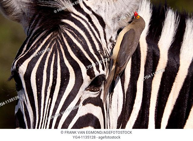 Plains Zebra Equus Quagga and Red-billed oxpecker Buphagus Erythrorhynchus  Oxpecker removing bugs from inside the Zebra's ear  A symbiotic relationship exists...