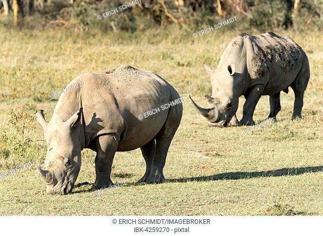 White rhinoceroses or square-lipped rhinoceroses (Ceratotherium simum), feeding, Lake Nakuru National Park, Kenya