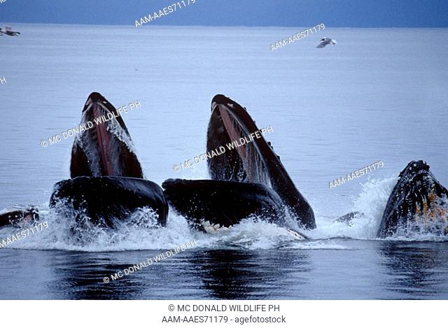Humpback Whale lunge feeding (Megaptera novaeangliae), Coastal AK