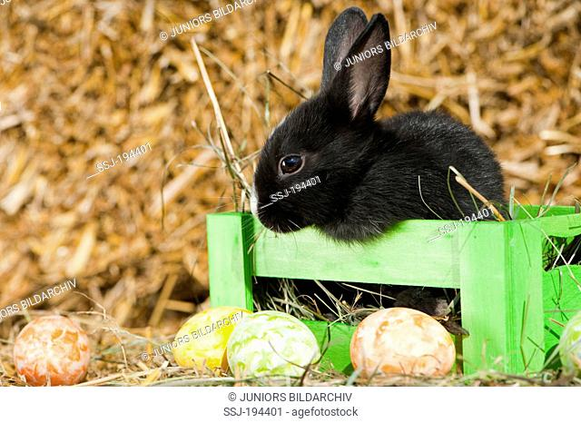 Netherland Dwarf rabbit. Black young in a crate next to Easter eggs. Germany