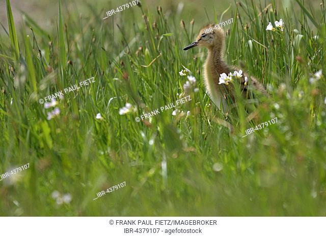 Black-tailed godwit (Limosa limosa), chick in flowering meadow, Texel, North Holland, Holland, Netherlands