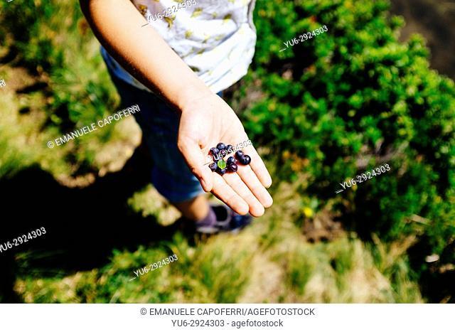 baby hands with blueberries. Alpe Devero, Piemonte, Italy