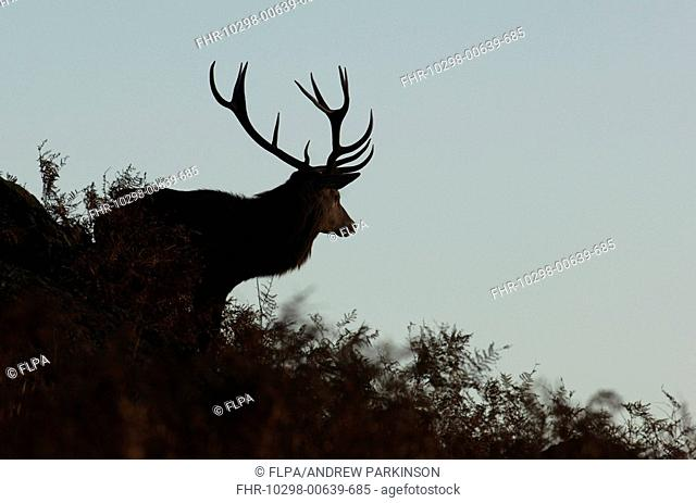 Red Deer Cervus elaphus stag, silhouetted at dusk, Bradgate Park, Leicestershire, England