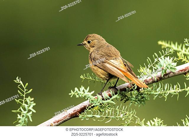 Black redstart, female, Phoenicurus ochruros, Nubra, Ladakh, Jammu and Kashmir, India
