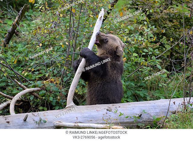 Brown Bear, Ursus arctos, Cub, Bavaria, Germany