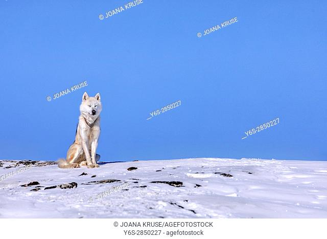 Husky dog in Ilulissat, Greenland