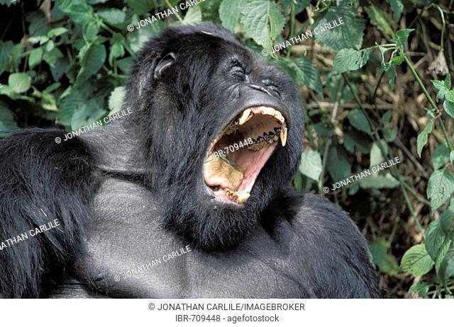 Mountain Gorilla (Gorilla beringei beringei), Volcano National Park, Rwanda, Africa