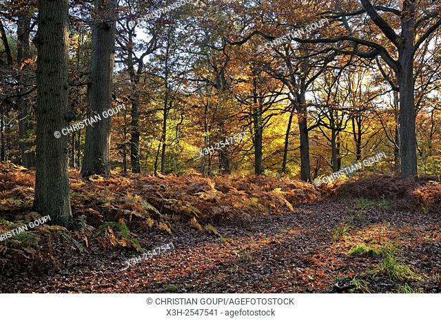 Forest of Rambouillet, Yvelines department, Ile-de-France region, France, Europe